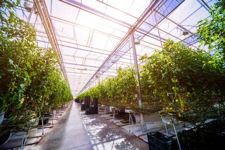Modern greenhouse with tomato plants. Beautiful background