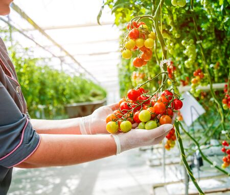 Farmers hands with freshly harvested tomatoes. Woman hands holding tomatoes. Фото со стока