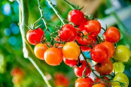 Belles tomates mûres rouges cultivées en serre. Beau fond
