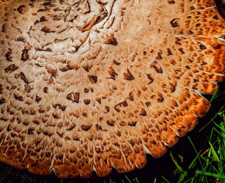 Parasol mushroom cap texture. Abstract colored background.