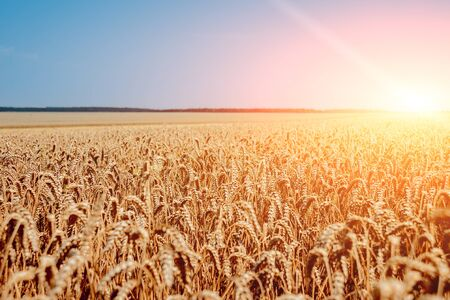 Wheat field. Ears of golden wheat. Rich harvest. Background