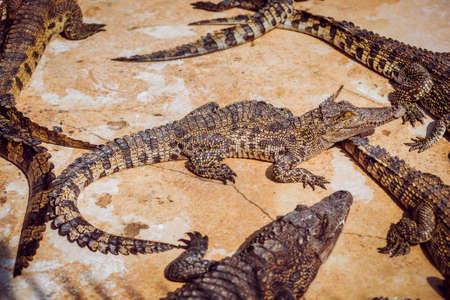 Aggressive crocodile. Alligators on the send bench