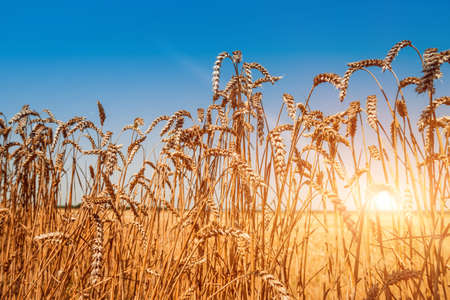 Wheat field. Ears of golden wheat. Rich harvest. Background
