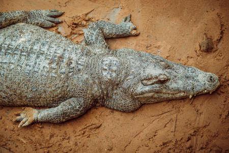 Aggressive crocodile. Alligators on the send bench. 스톡 콘텐츠