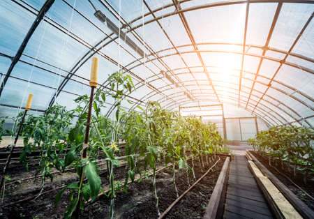 Plants growing in a plant greenhouse. Agriculture Banque d'images
