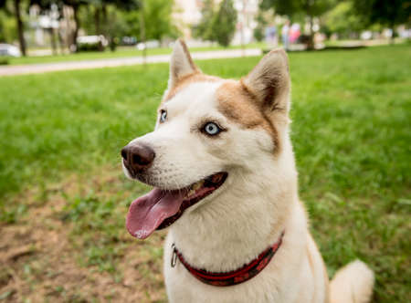 Portrait of cute husky dog at the park.