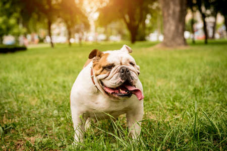 Portrait of cute english bulldog at the park.