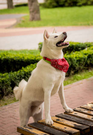 Portrait of cute white akita inu dog at the park. Stock fotó