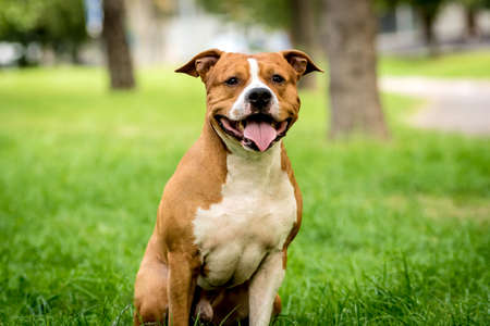 Portrait of cute american staffordshire terrier at the park.
