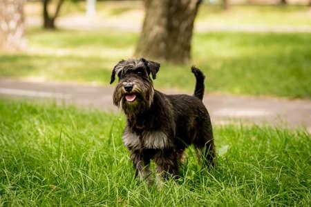 Portrait of cute miniature schnauzer at the park. Stock fotó