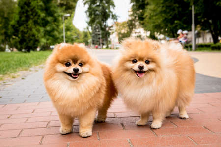 Portrait of cute two pomeranian dogs at the park. Stock fotó