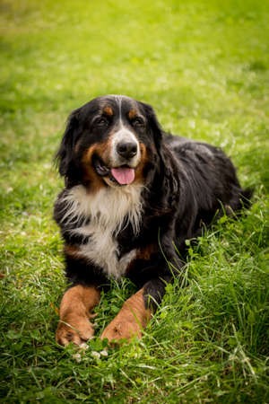 Portrait of cute Berner Sennenhund dog at the park.