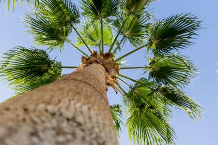 Big coconut palm tree against blue sky Standard-Bild