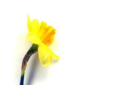 yellow daffodil on a plain background isolate. High quality photo
