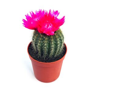 cactus blooming with a hard shadow in the top view pattern. High quality photo