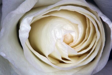 beautiful white rose Bud as a background gift. High quality photo Фото со стока