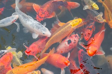 carp Chinese koi colorful fish swim in the water top view of the entire frame . High quality photo