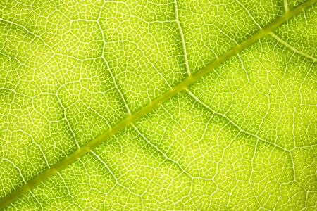 the structure of a green tree leaf as a macro background. High quality photo Stock Photo - 150310609