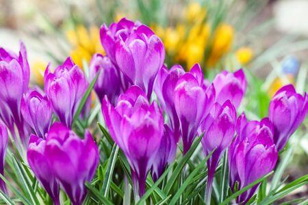 purple crocuses on a beautiful background macro
