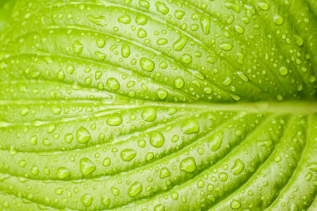 green Hosta leaf with rain drops close-up