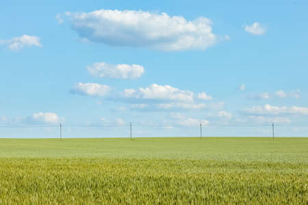 a field of green wheat against a blue sky close up for the entire frame Фото со стока