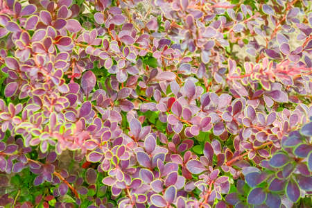 Thunberg Barberry leaves. for the entire frame. as a background Фото со стока