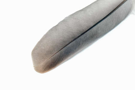 pigeon feather close-up on a white background