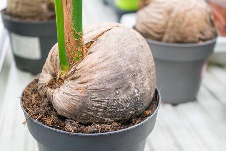 sprouted coconut in a flower pot on a store shelf Reklamní fotografie