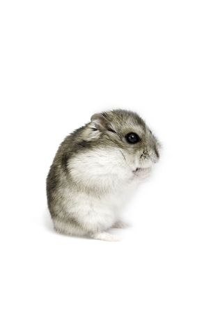 dwarf hamster: Dwarf hamster seat on the white background Stock Photo