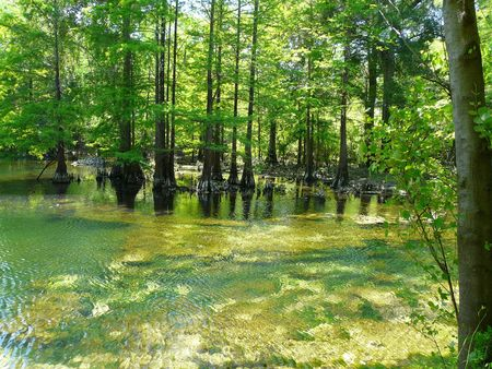 Cypress trees and knees at Peacock Springs State Park, Florida. Two third-magnitude springs are tributaries of the Suwannee River via Peacock Slough.  Stock Photo - 7093035