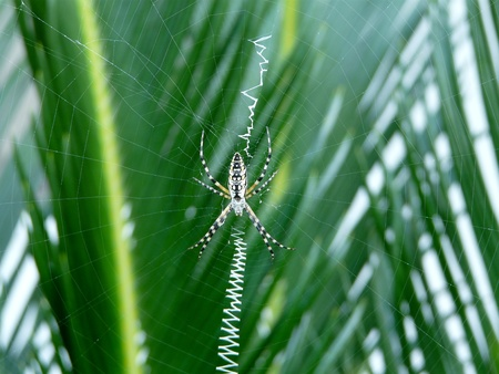 Wasp spider on its web, which includes a zigzag pattern of silk (web decoration) and blurred sago palm background.
