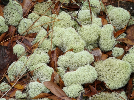 Reindeer moss or lichen covers a damp forest floor in Florida in summer.
