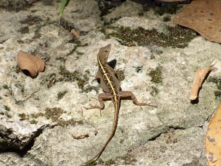 This female Cuban brown anole was at Rainbow Springs State Park, Florida. The female has a stripe with diamond pattern on the back. Stock Photo - 17974326