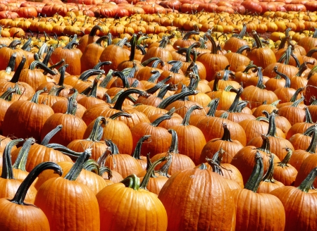 Rows of pumpkins for sale for the Halloween and Thanksgiving season. Stock Photo