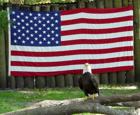 An injured bald eagle is being cared for in captivity in Florida due to its injuries  The flag of the United States is behind the eagle  Stock Photo - 24733460