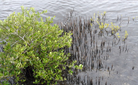 distinctive: Black mangrove tree with its distinctive aerial or aerating roots in the Merritt Island National Wildlife Refuge, Florida