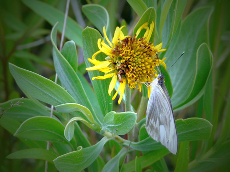 oxeye: Great Southern White Butterfly with pollen on its body, on a Sea Oxeye Daisy at Merritt Island National Wildlife Refuge, Florida