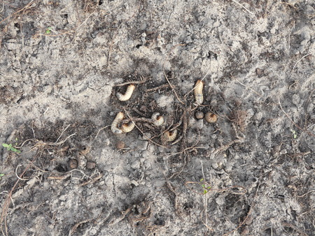 eradicate: White grubs have nearly destroyed a front yard during the winter in Florida.