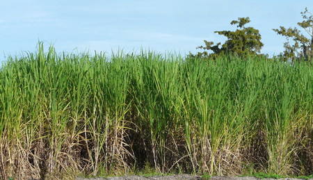 sweet grasses: This sugarcane field near Port Myaca, Florida, along with mills  refineries, is part of the agriculture industry in the Lake Okeechobee region.