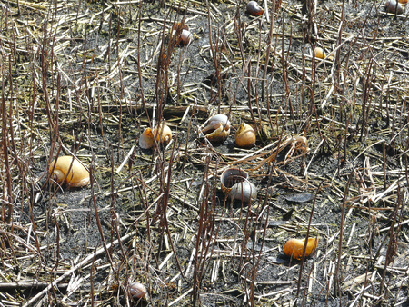 invasive species: Apple snail shells, the primary food source of the endangered snail kite, on the bottom of Lake Istokpoga, Florida. These are a non-native species.