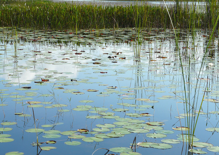 wetland conservation: Lily pads and other marsh vegetation in Savannas Preserve State Park, which preserves freshwater marshes, or savannas, along Floridas east coast.
