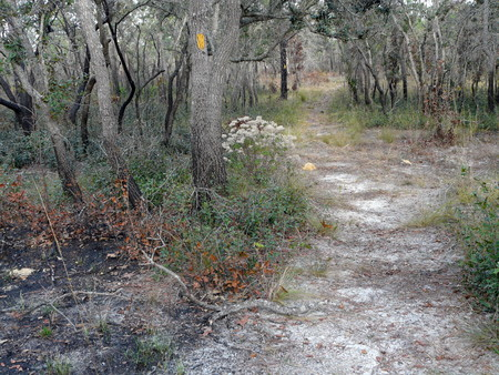 A hiking trail with markers on trees passes through an area where a controlled burn was done in the Withlacoochee National Forest in Florida.