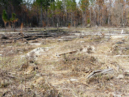 controlled: Area where a controlled burn was done to help prevent wildfires and maintain natural communities at Ocklawaha Prairie Restoration Area, Florida. Stock Photo