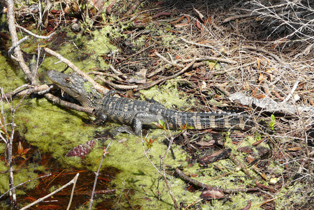A young alligator rests in a marsh in St. Andrews State Park, Florida. The detailed view of its habitat includes vegetation, pinecones, and blooms.