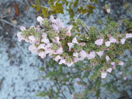 Wild rosemary flowers are attractive to bees and other pollinators. This one is at Camp Helen State Park, Florida, in a sand dunes beach area.