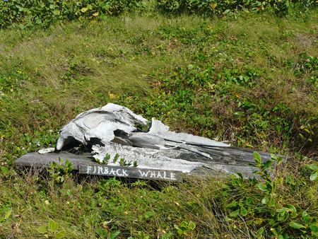 environmental issues: A finback whale skull at Archie Carr National Wildlife Refuge Barrier Island Sanctuary Management and Education Center, Melbourne Beach, Florida.