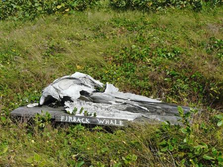 Un crâne de rorqual commun au Archie Carr National Wildlife Refuge Centre de gestion et d'éducation du Sanctuaire Barrier Island, Melbourne Beach, Floride. Banque d'images - 80962498