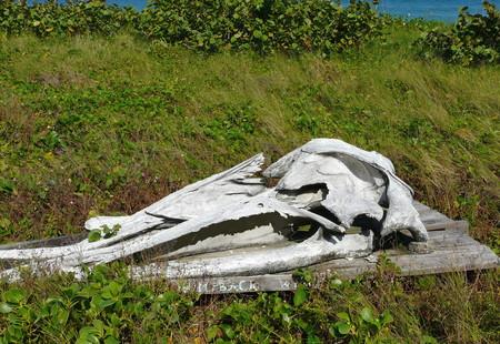 Un crâne de baleine à bosse au Archie Carr National Wildlife Refuge Centre de gestion et d'éducation Sanctuary Barrier Island, Melbourne Beach, en Floride. Banque d'images - 82718888