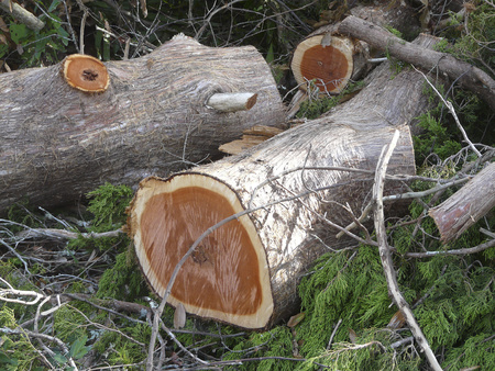 Eastern Red Cedar logs that were cut from a tree damaged in a storm lie on the ground among boughs and limbs.