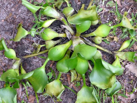 As evidenced by this specimen in northern Florida, the aquatic water hyacinth also has the ability to grow on land, although it is typically smaller.